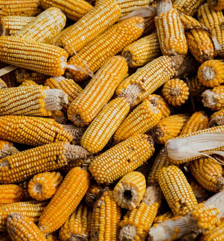 bunch-of-corn-cob-1459331